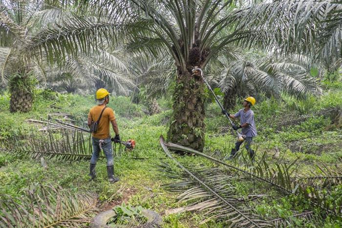 производство пальмового масла